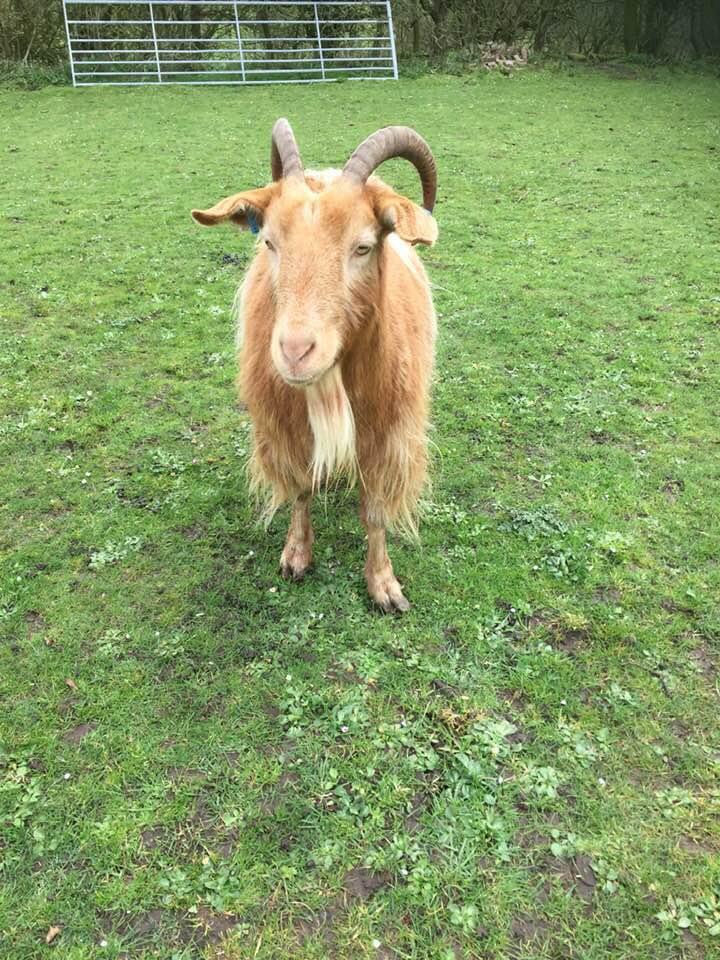 Golden Guernsey goat, client of Allium Healing