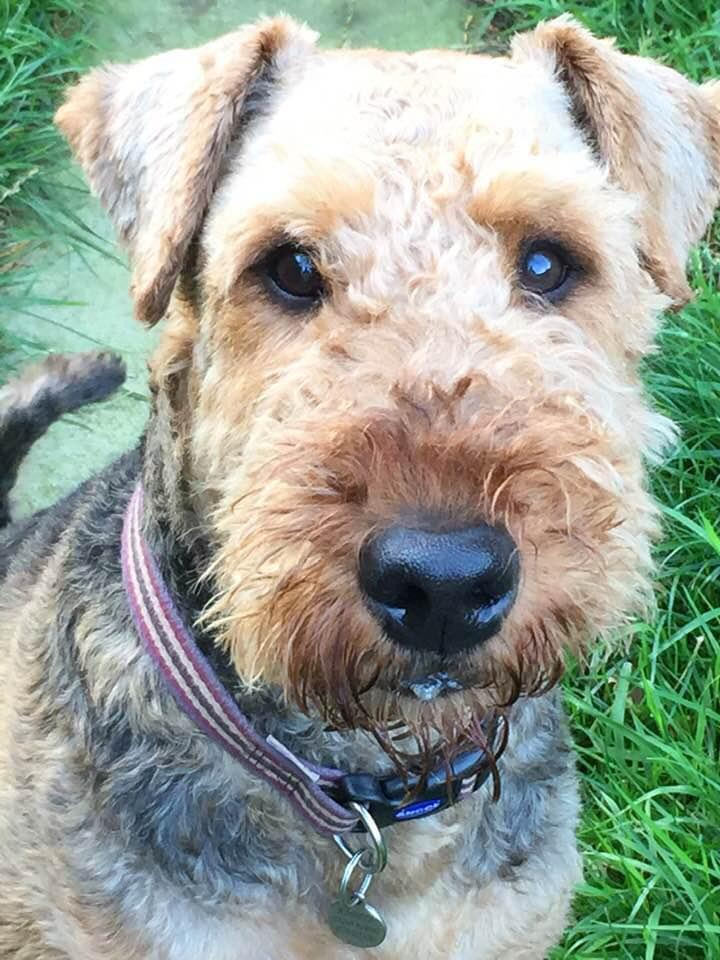 Allium Healing helped this Airedale terrier