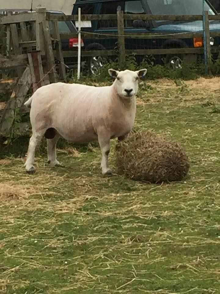 Sheep helped by homeopathy from Allium Healing