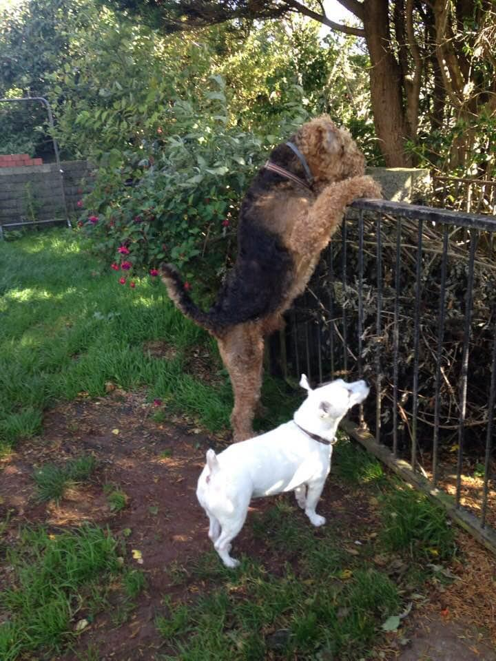 Airedale & Jack Russell, canine clients of Allium Healing