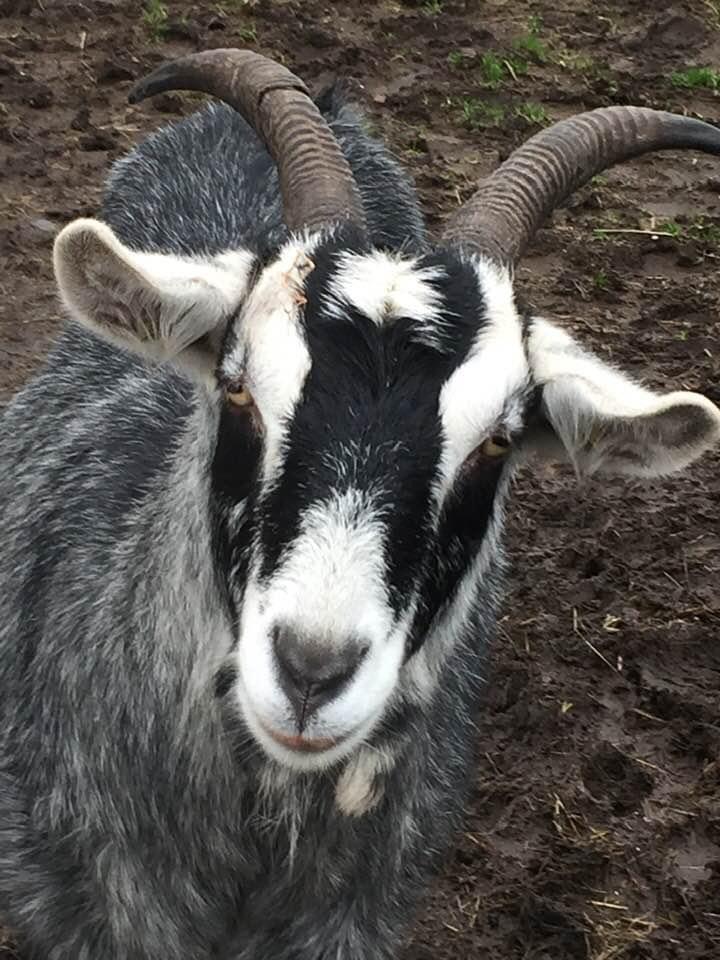 Cheeky goat client of Allium Healing