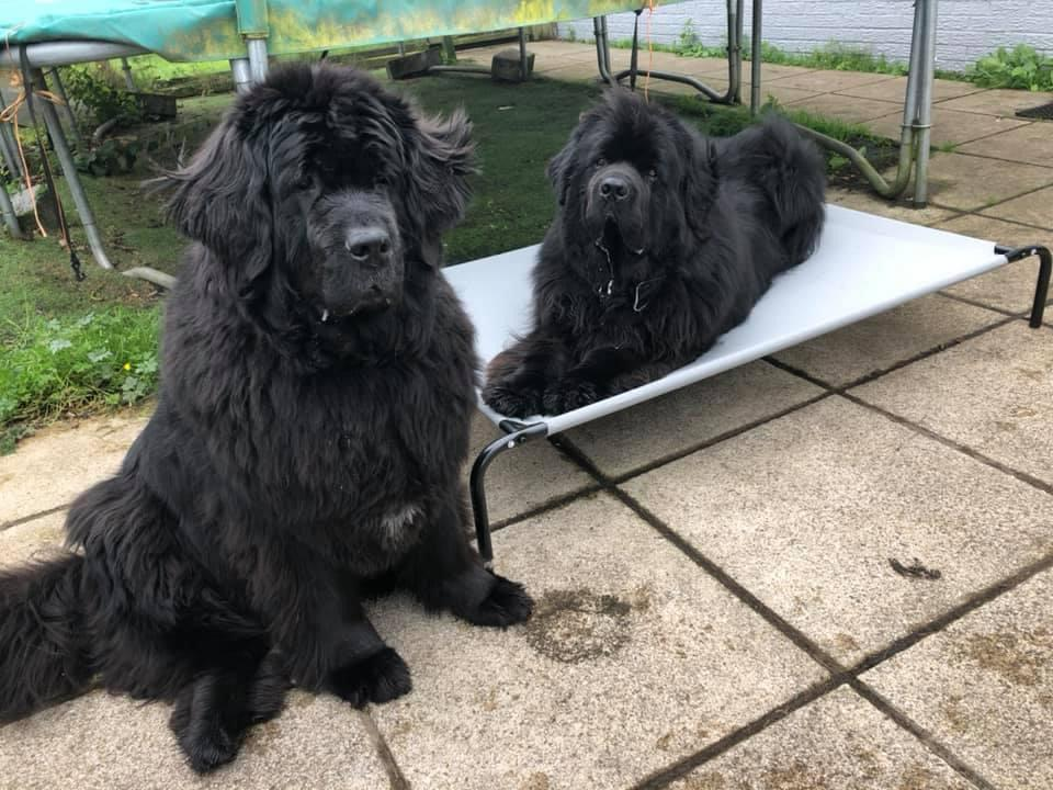 Beautiful Newfoundlands helped by homeopathy from Allium healing