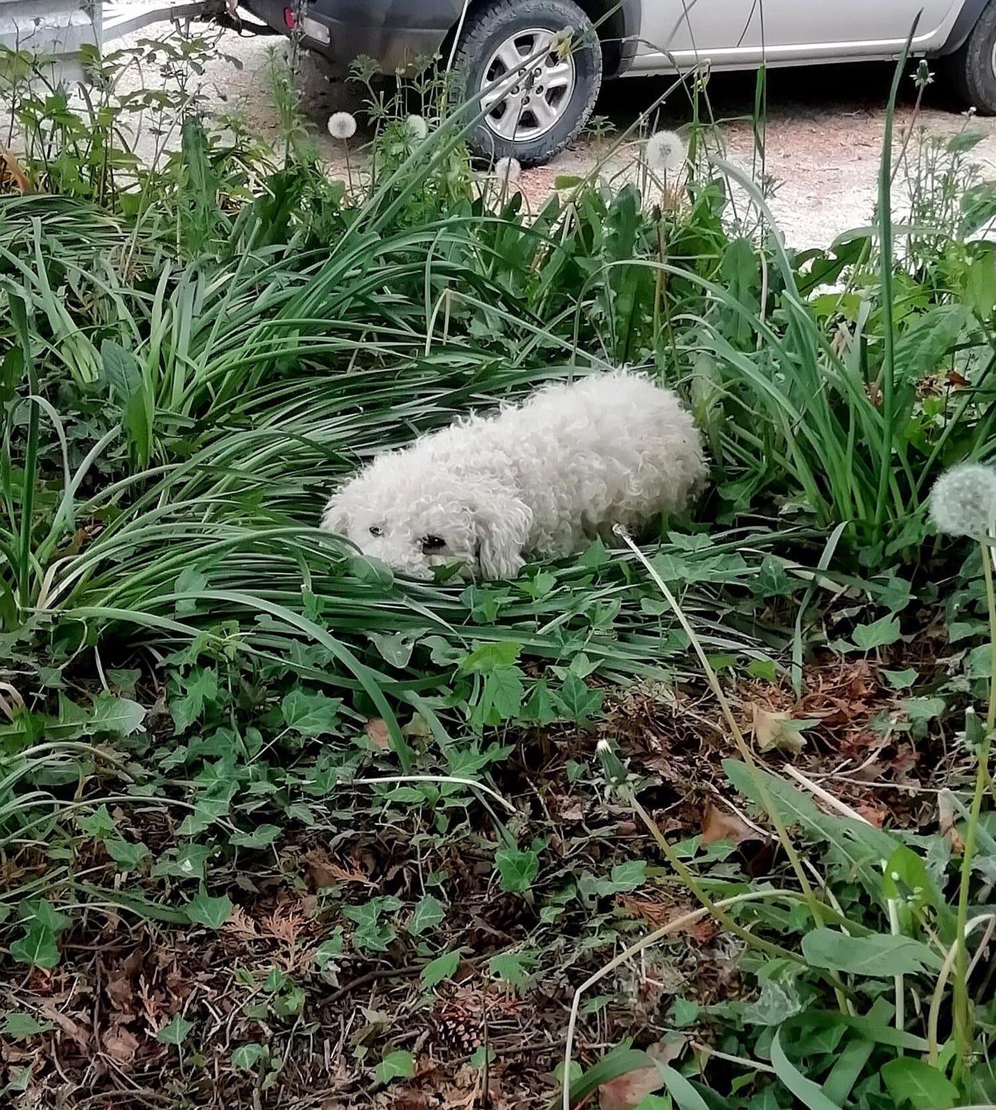 Bichon Frise canine client of Allium Healing