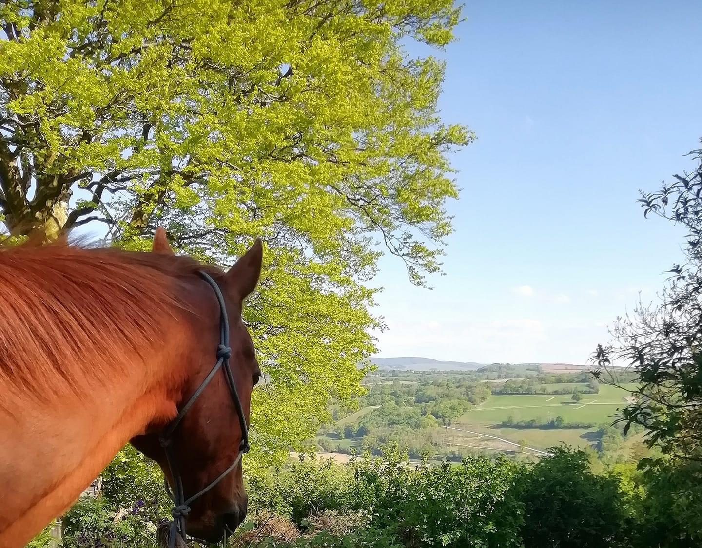 Chestnut gelding benefitted from homeopathy from Allium Healing