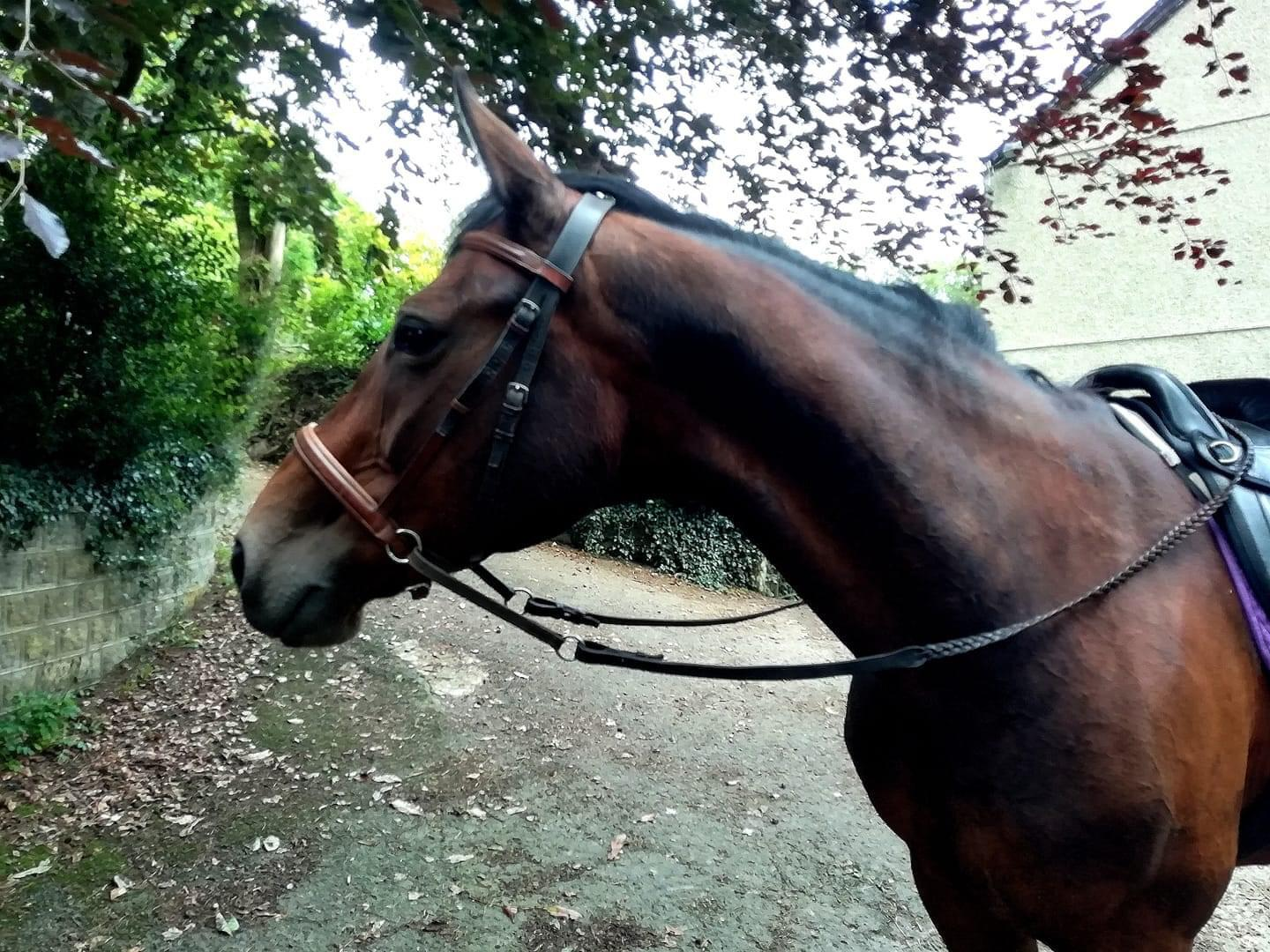 Stunning warmblood mare helped by homeopathy from Allium Healing