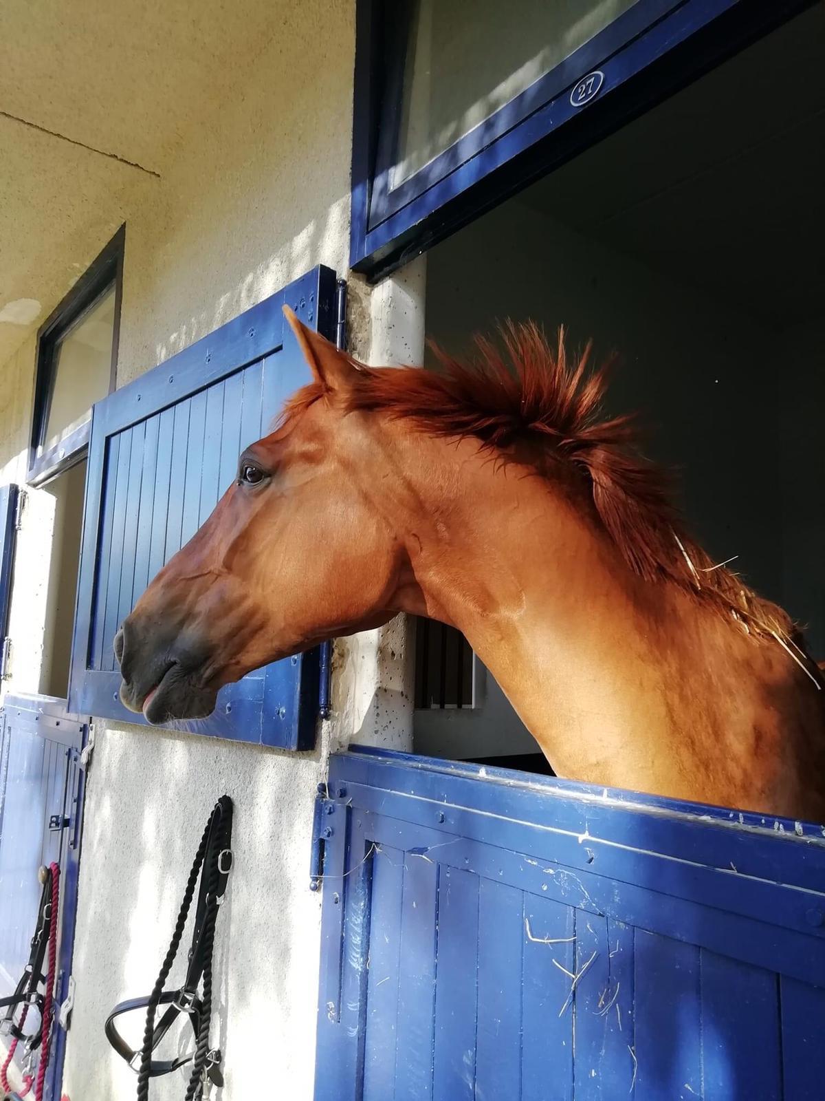 Chestnut horse client of Allium Healing