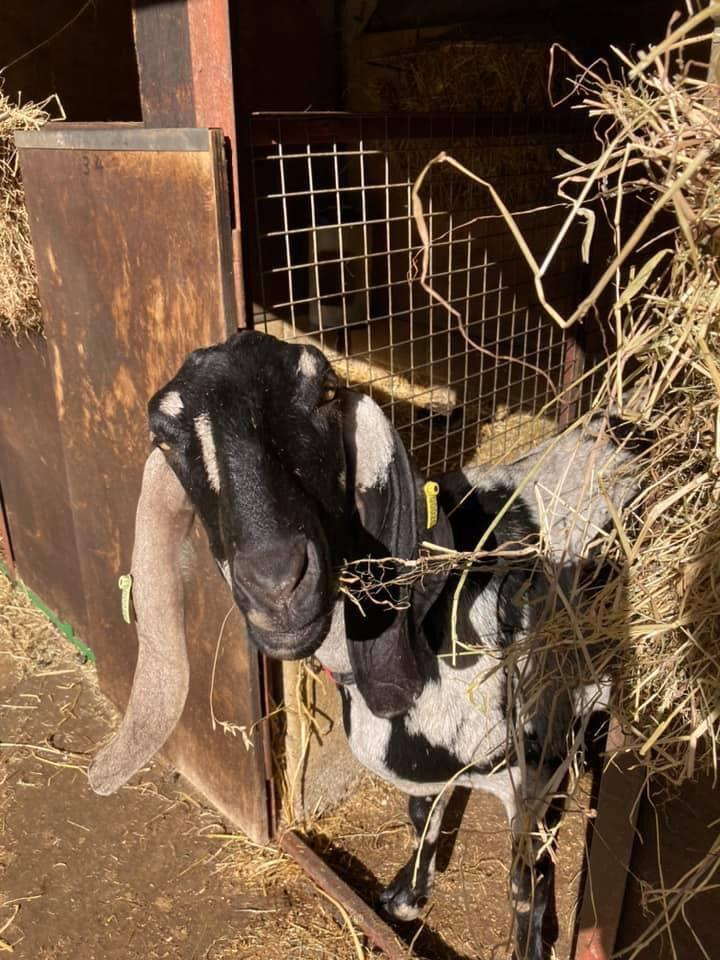 Anglo Nubian goat - client of Allium Healing