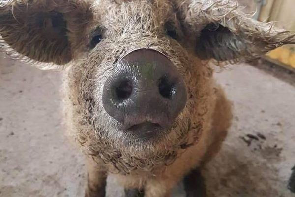 Mangalitsa pig helped by homeopathy from Allium Healing