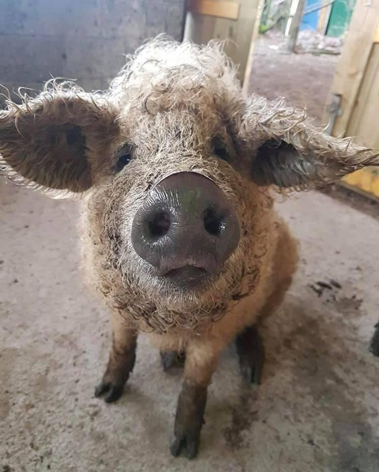 Mangalitsa pig helped by homeopathy from Allium Healing