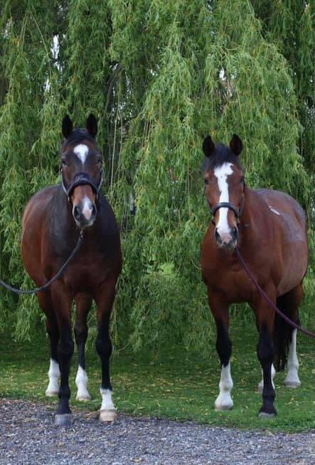 Two bay horses, clients of Allium Healing