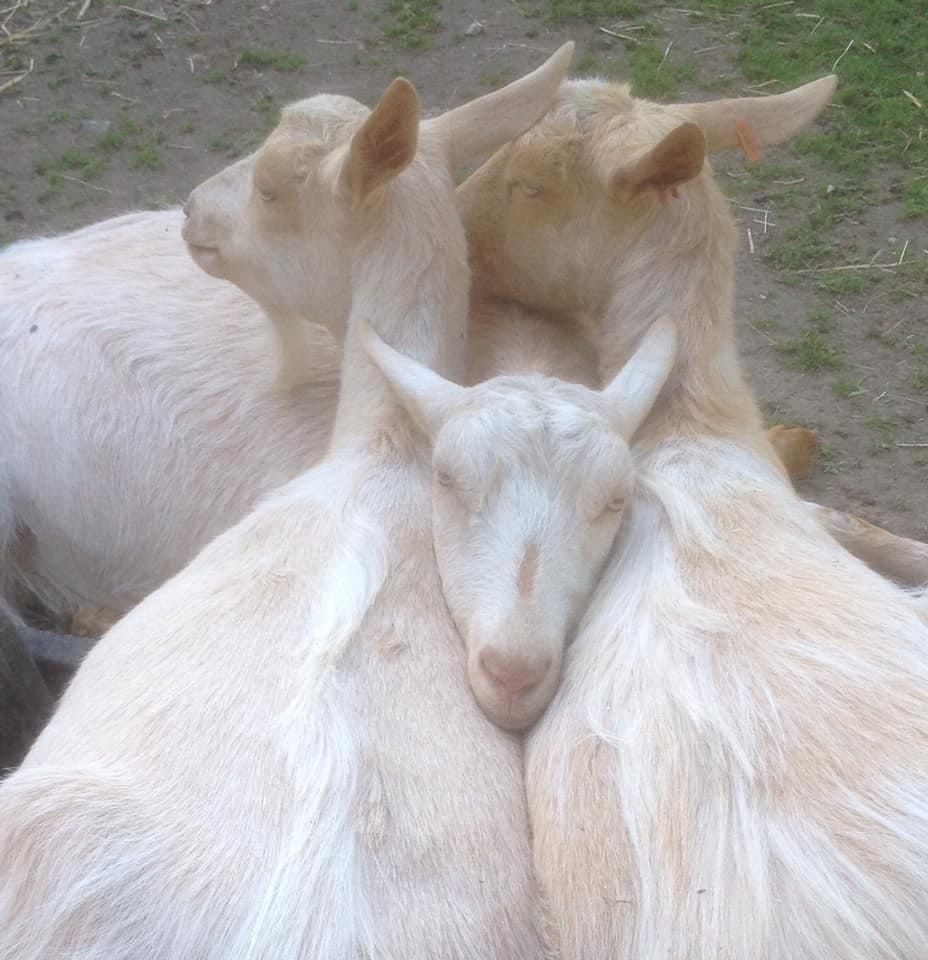 More goat clients of Allium Healing
