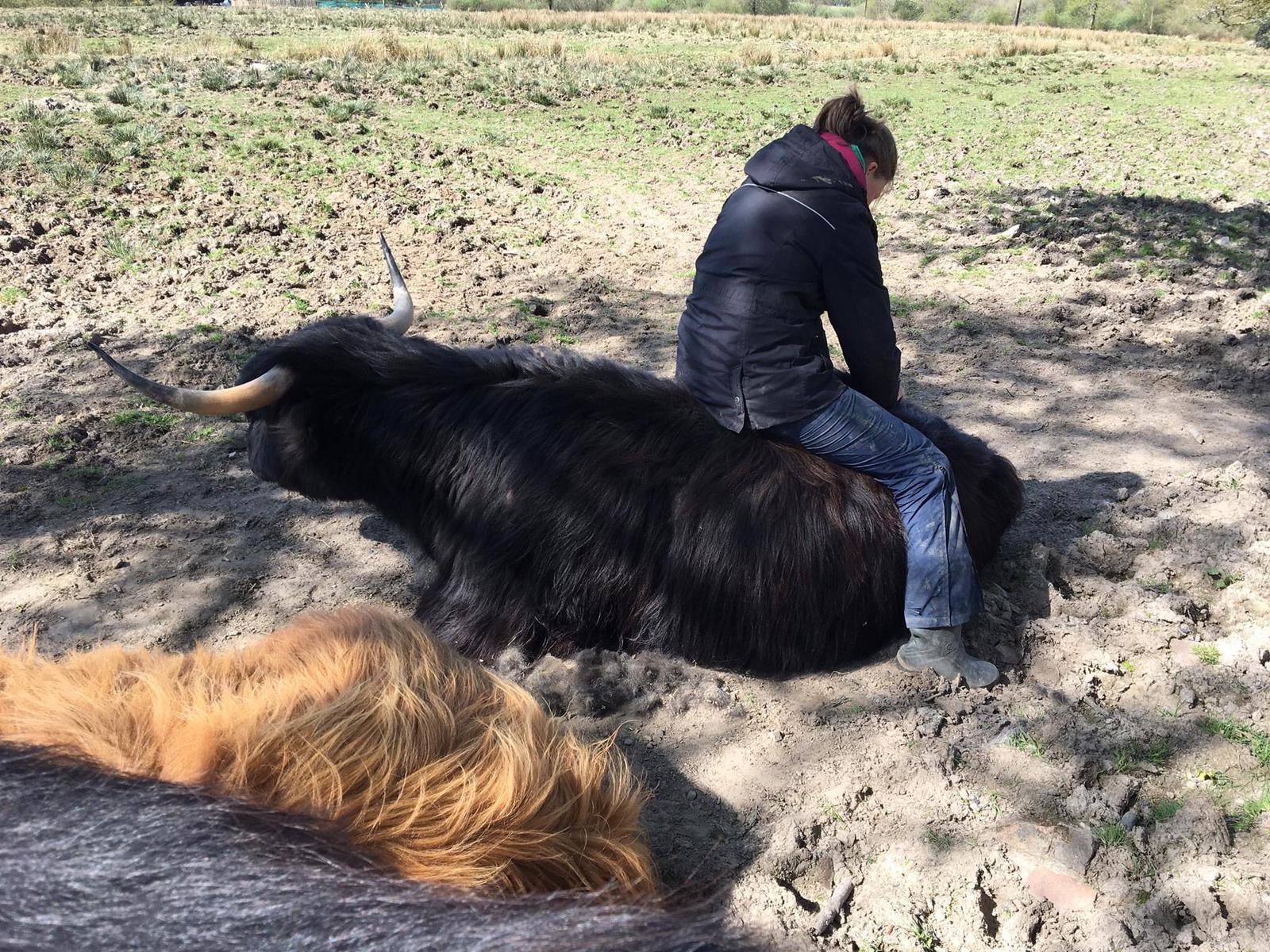 Highland steer helped by Allium Healing