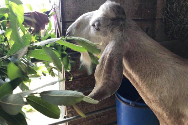 Buckling Ziggy very poorly in his stable